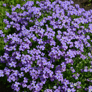 Aubrieta cultorum 'Cascade Blue' / Rock Cress