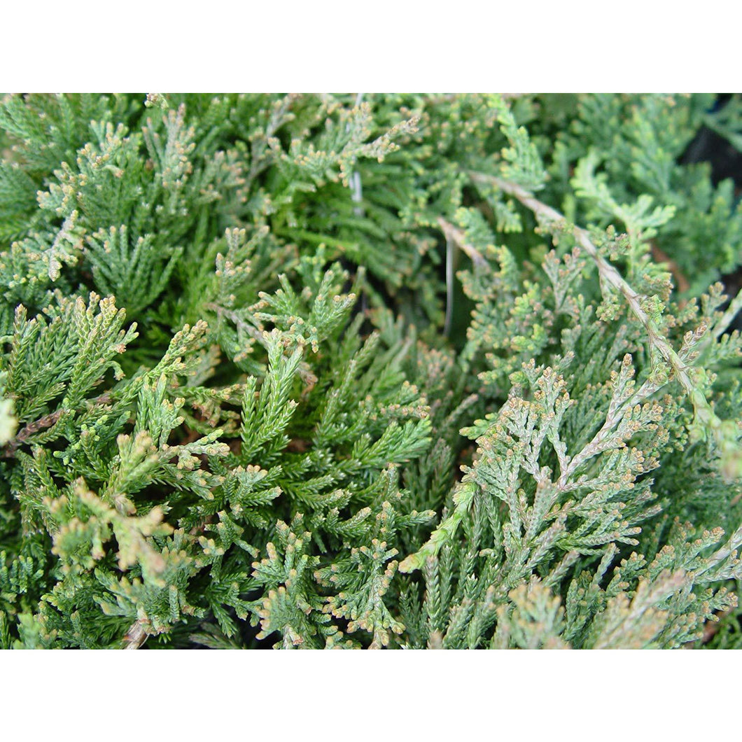 Juniperus horizontalis 'Bar Harbor' / Bar Harbor Juniper