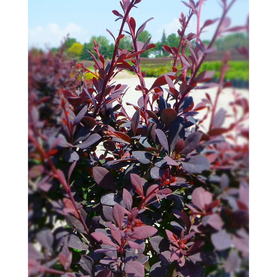 Berberis thunbergii 'Royal Cloak' / Royal Cloak Barberry