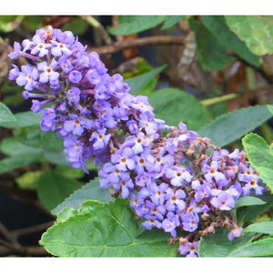 Buddleia 'Flutterby Petite® Blue Heaven' / Butterfly Bush