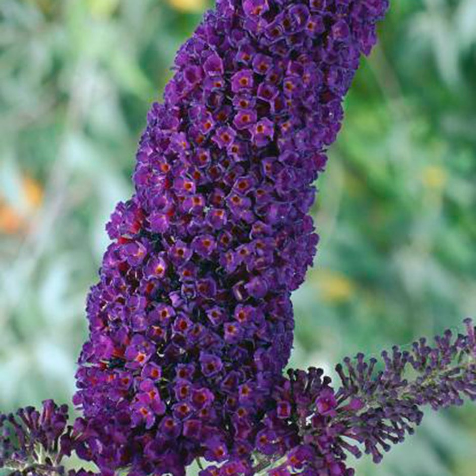 Buddleia davidii 'Black Knight' / Butterfly Bush