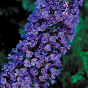 Buddleia davidii 'Ellen's Blue' / Butterfly Bush