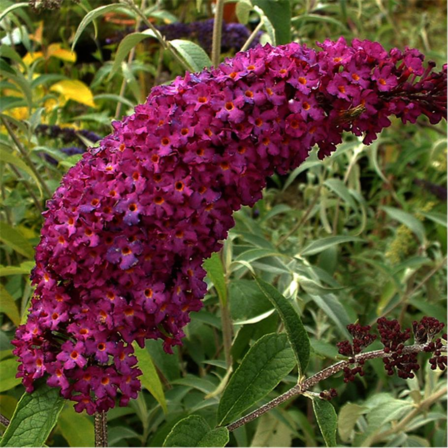 Buddleia davidii 'Royal Red' / Butterfly Bush