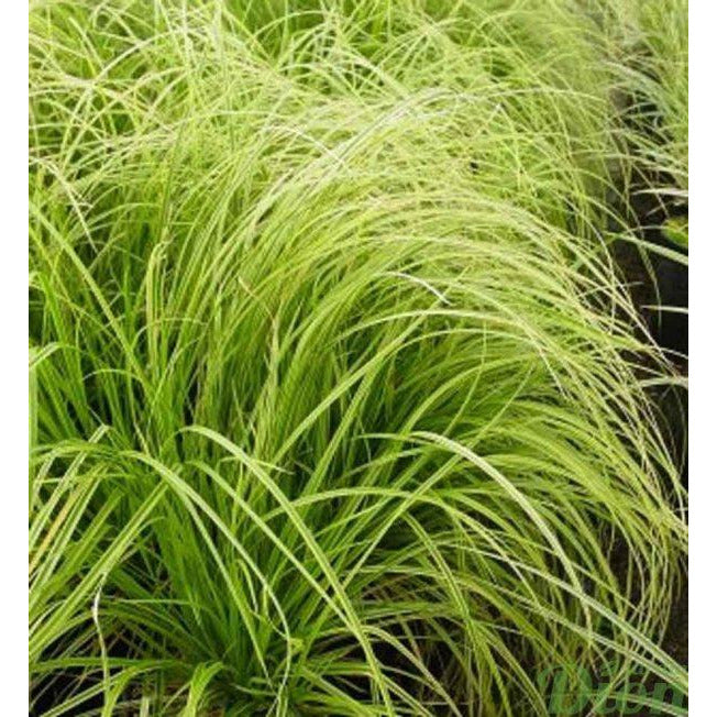 Carex - dolichostachya 'Gold fountains' (Kaga nishiki) / Sedge