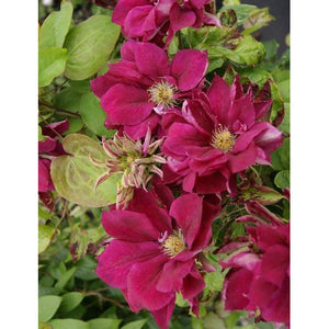 Clematis 'Red Star'