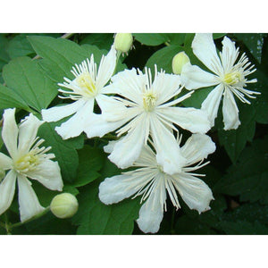 Clematis 'Summer Snow' (Paul Farges)