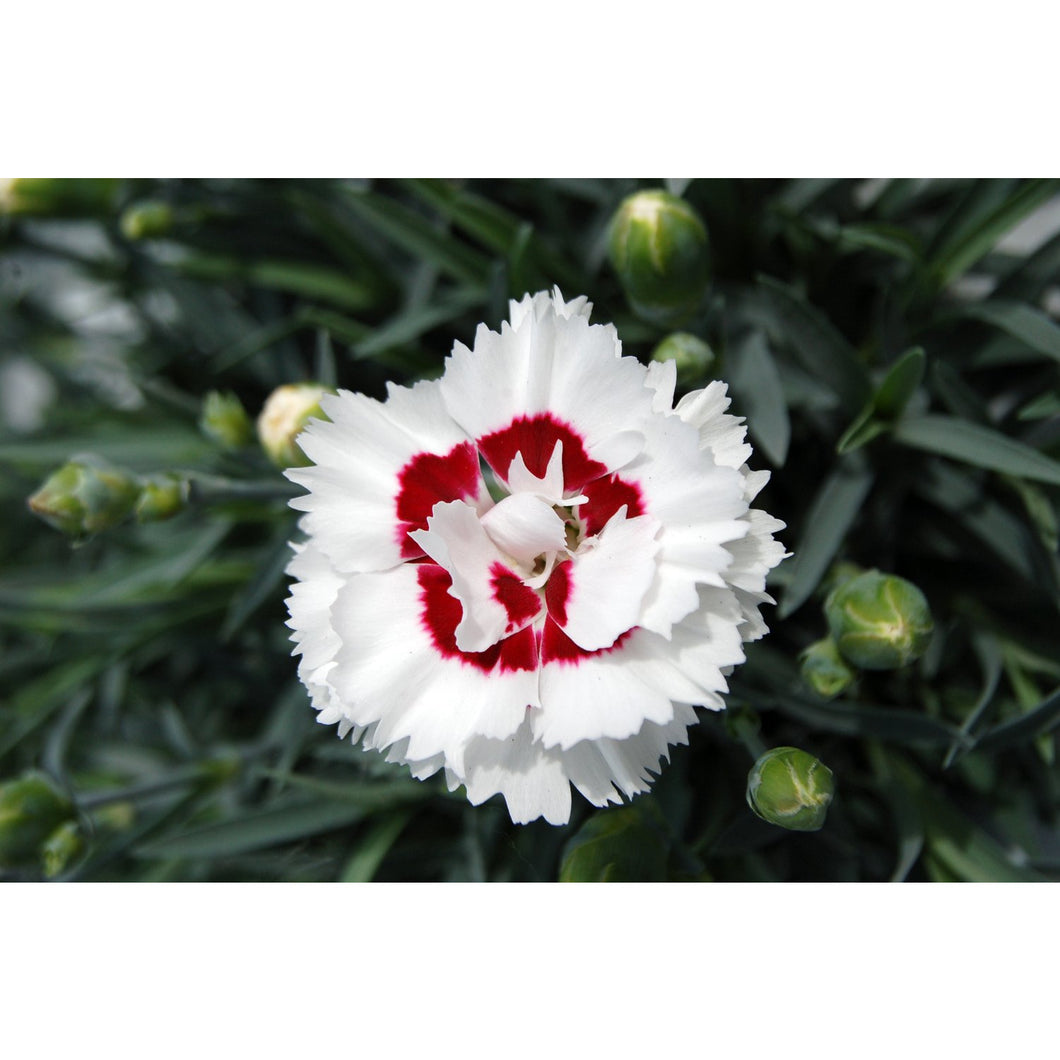 DIANTHUS - hybrid 'Coconut Surprise' - Pinks / Sweet William