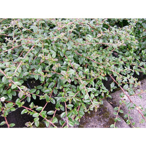 Cotoneaster - dammeri 'Coral Beauty' / Coral Beauty Cotoneaster