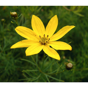Coreopsis - verticillata 'Moonbeam' / Tickseed