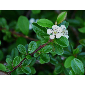 Cotoneaster - dammeri / Bearberry Cotoneaster