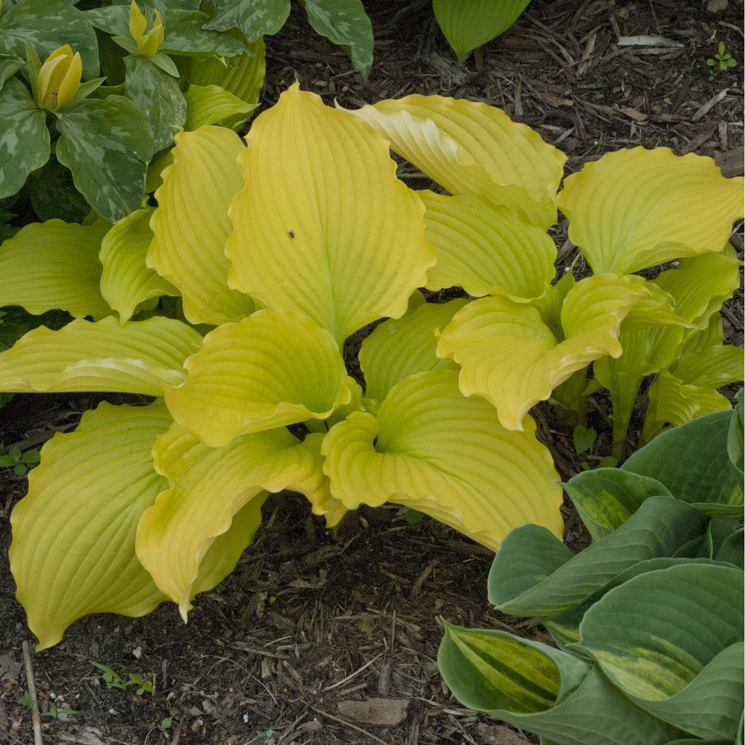 Hosta hybrid Dancing Queen / Plantain Lily