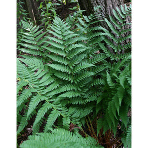 Dryopteris marginalis Eastern Wood Fern