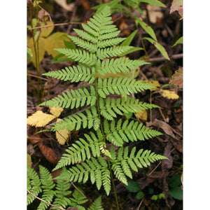 Dryopteris spinulosa Toothed Wood Fern
