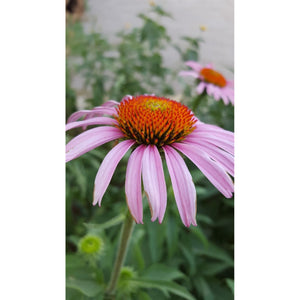 Echinacea purpurea (Native) / Cone flower