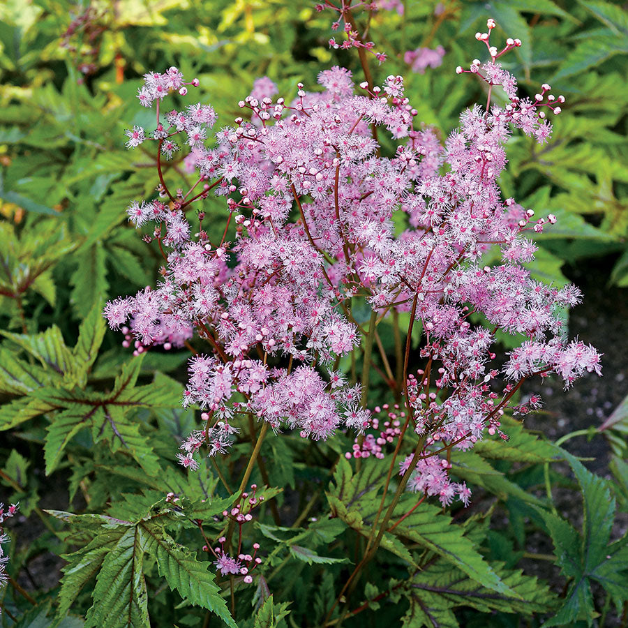 Filipendula - x 'Red Umbrellas' / Meadowsweet