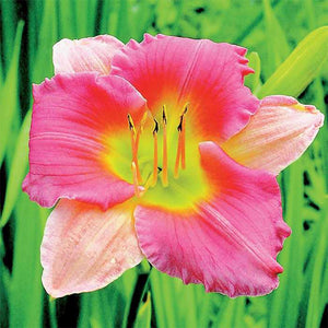 Hemerocallis hybrid Final Touch / Daylily