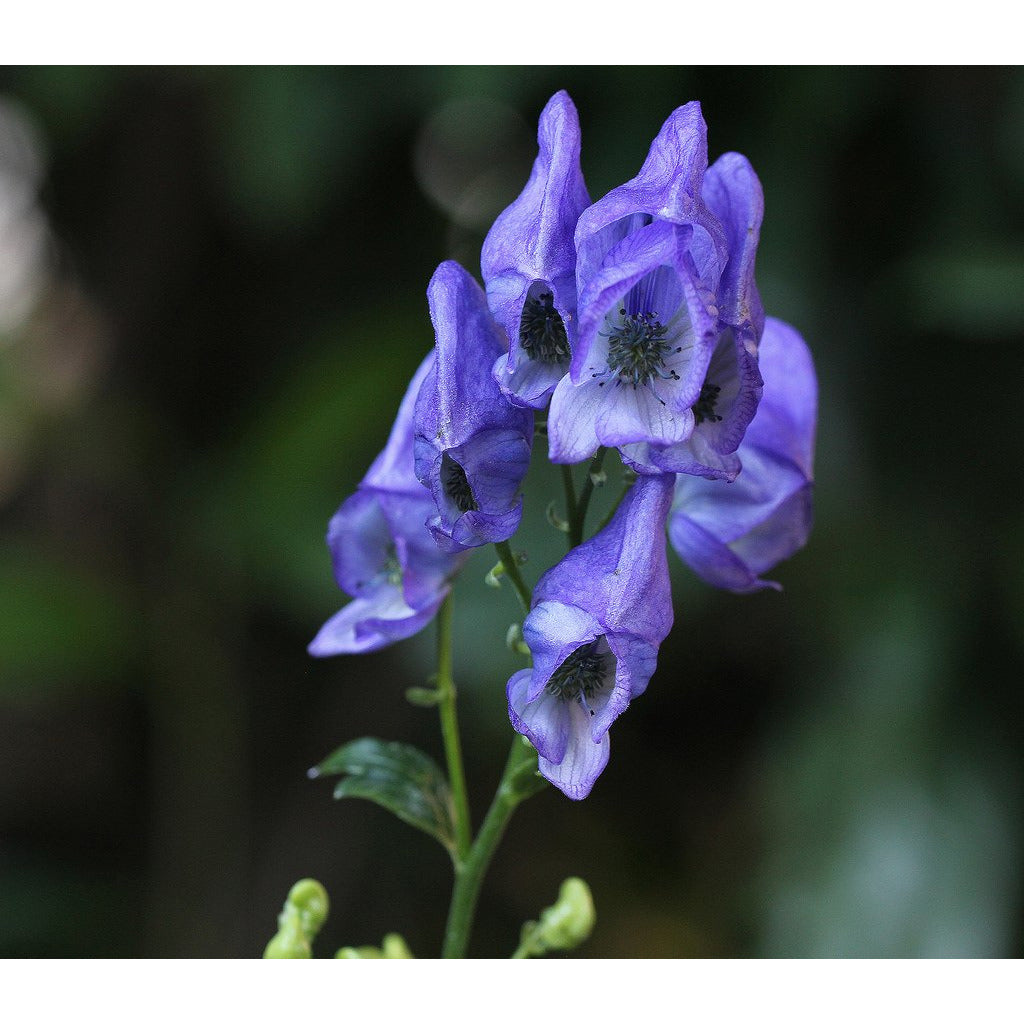 ACONITUM - 'Fischeri' / Monkshood