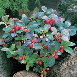 Gaultheria procumbens / wintergreen