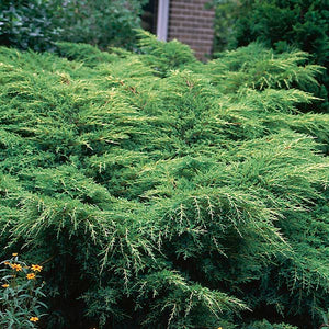 Juniperus chinensis 'Gold Star®' / Gold Star® Juniper