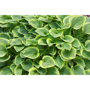 Hosta hybrid Golden Tiara / Plantain Lily