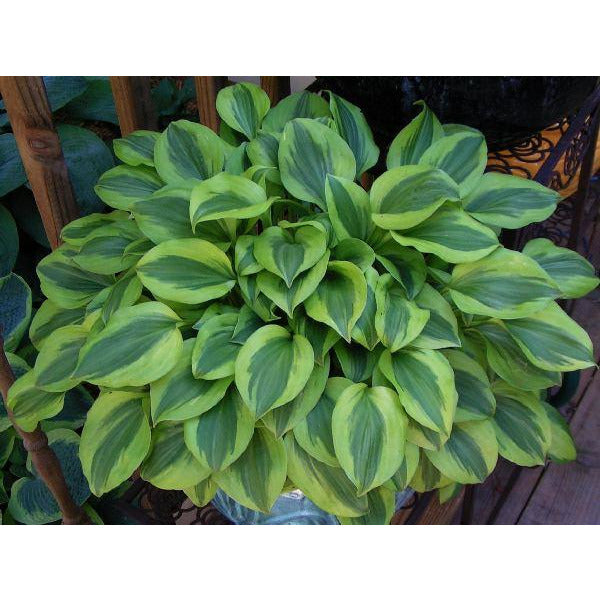 Hosta hybrid Grand Tiara / Plantain Lily