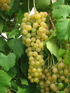 Grape 'Himrod Seedless'