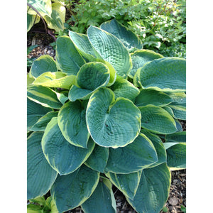 Hosta hybrid Great Arrival / Plantain Lily