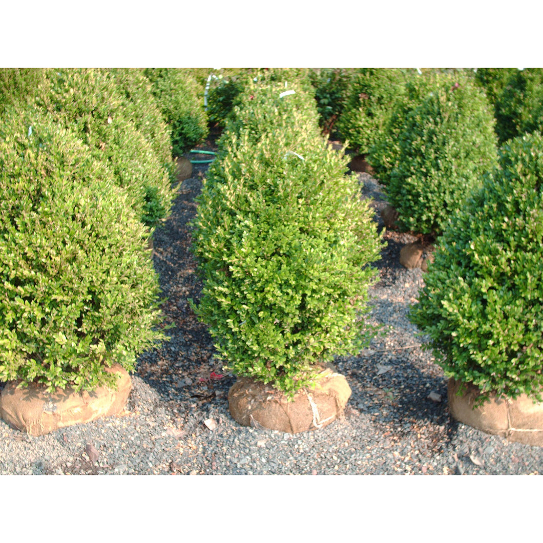 Buxus - x 'Green Mountain' / Green Mountain Boxwood