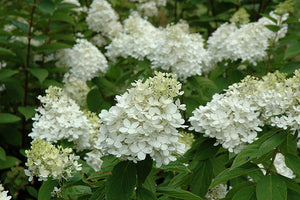HYDRANGEA PANICULATA 'FIRE AND ICE®' - FIRE AND ICE® HYDRANGEA
