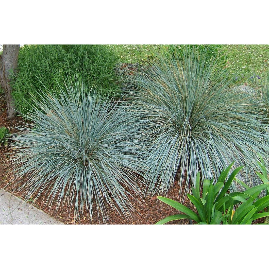 HELICTOTRICHON - sempervirens 'Sapphire' / Blue Oat Grass