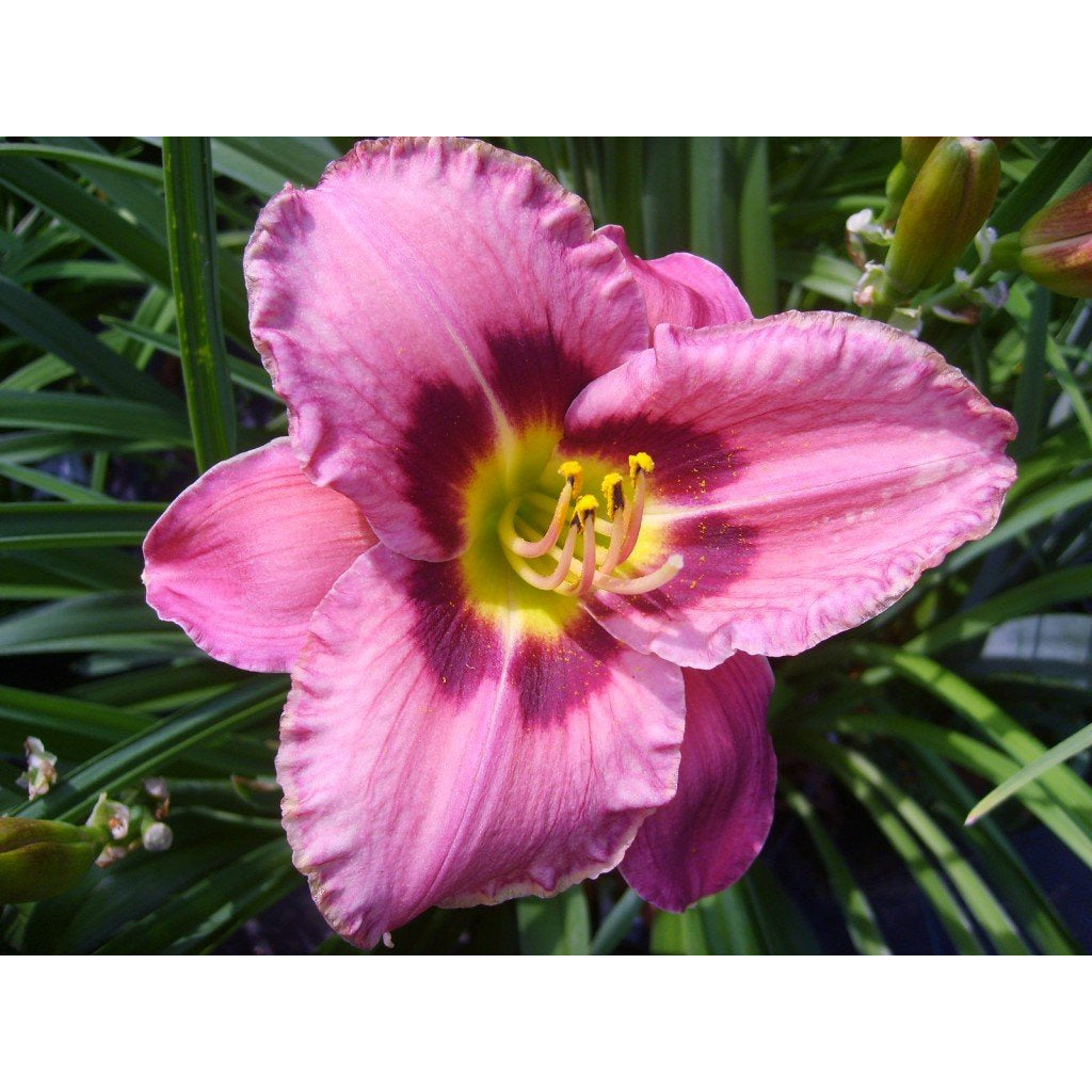 HEMEROCALLIS - Always Afternoon (mauve) / Daylily