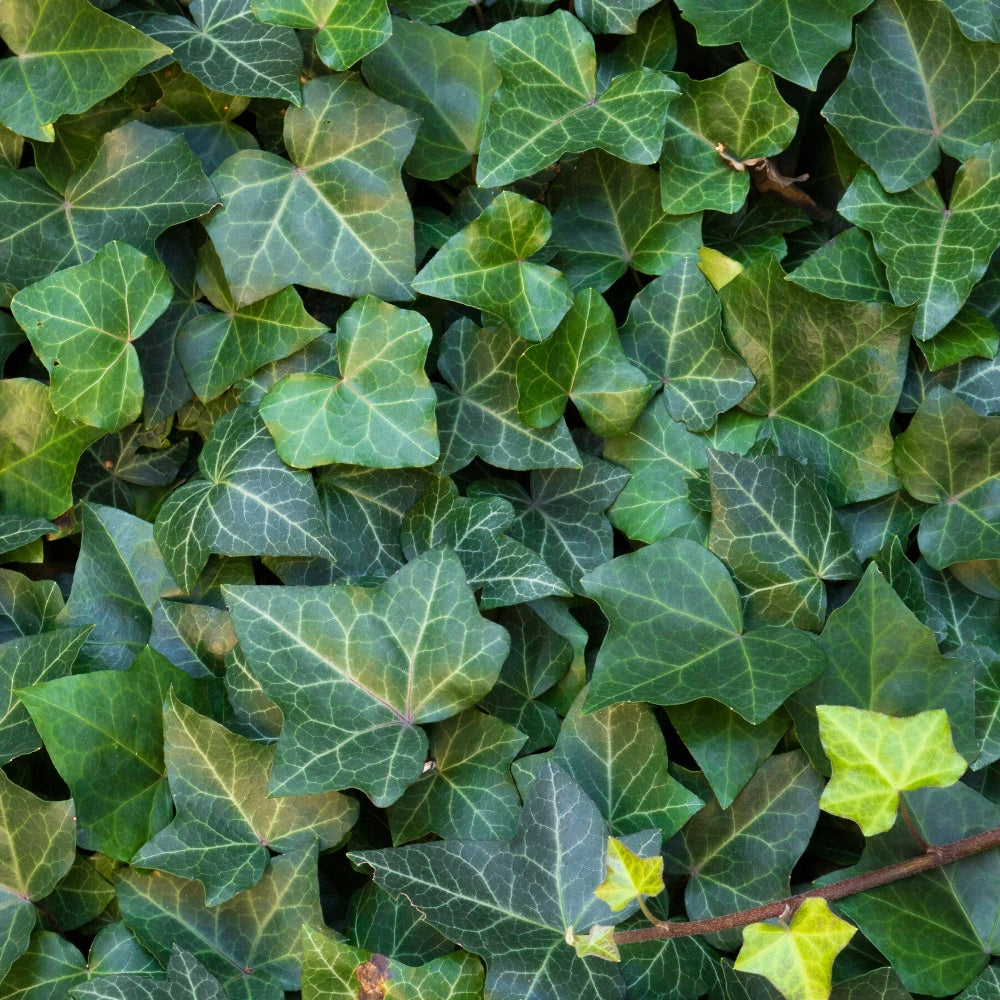 Hedera helix Thorndale / english ivy