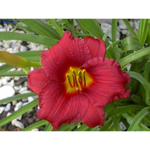 HEMEROCALLIS - Pardon Me (cranberry red) / Daylily