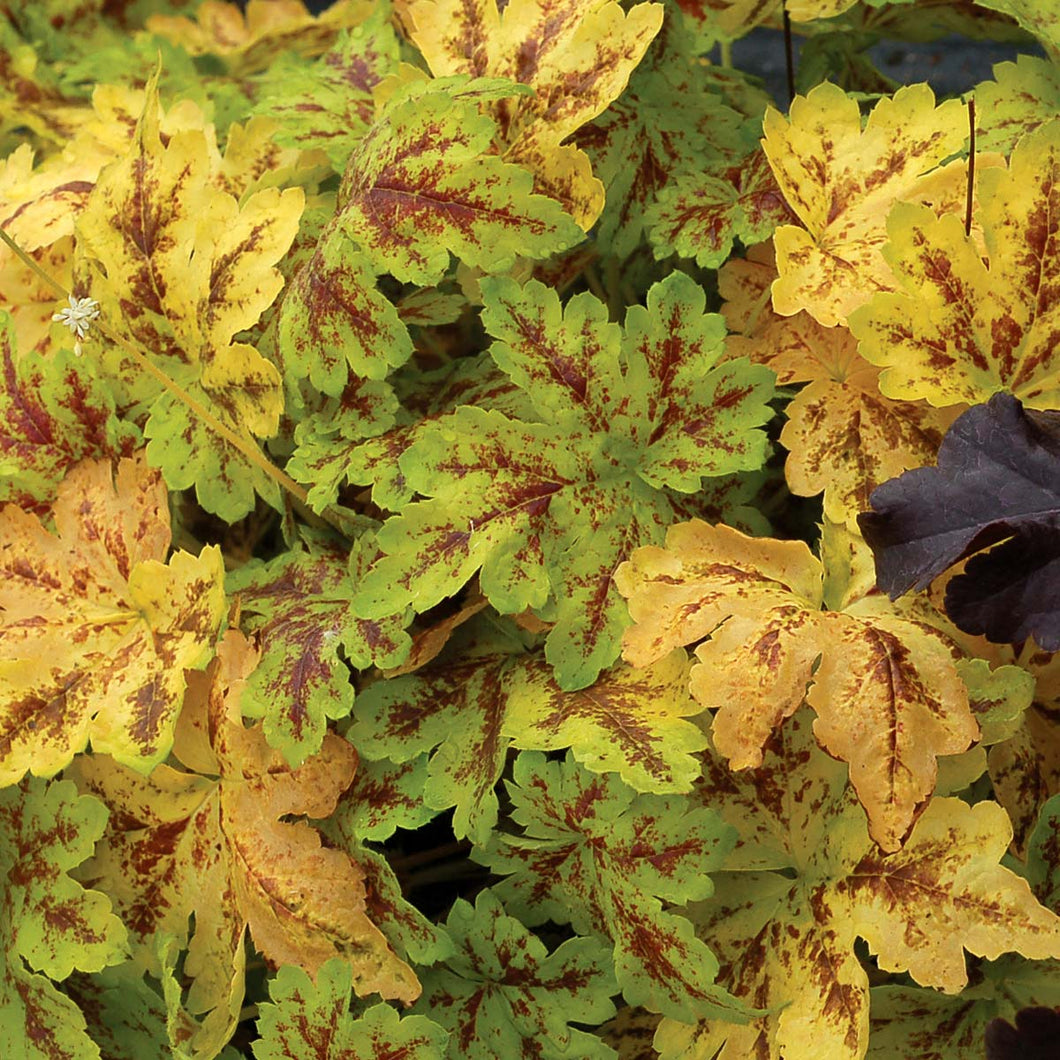 Heucherella hybrid Solar Power / Foamy Bells