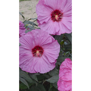 Hibiscus hybrid Berry Awesome / Rose Mallow