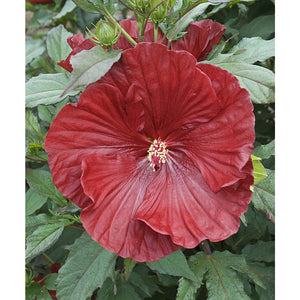Hibiscus hybrid Cranberry Crush / Rose Mallow