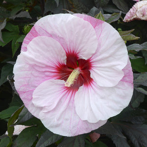Hibiscus hybrid Perfect Strom / Rose Mallow