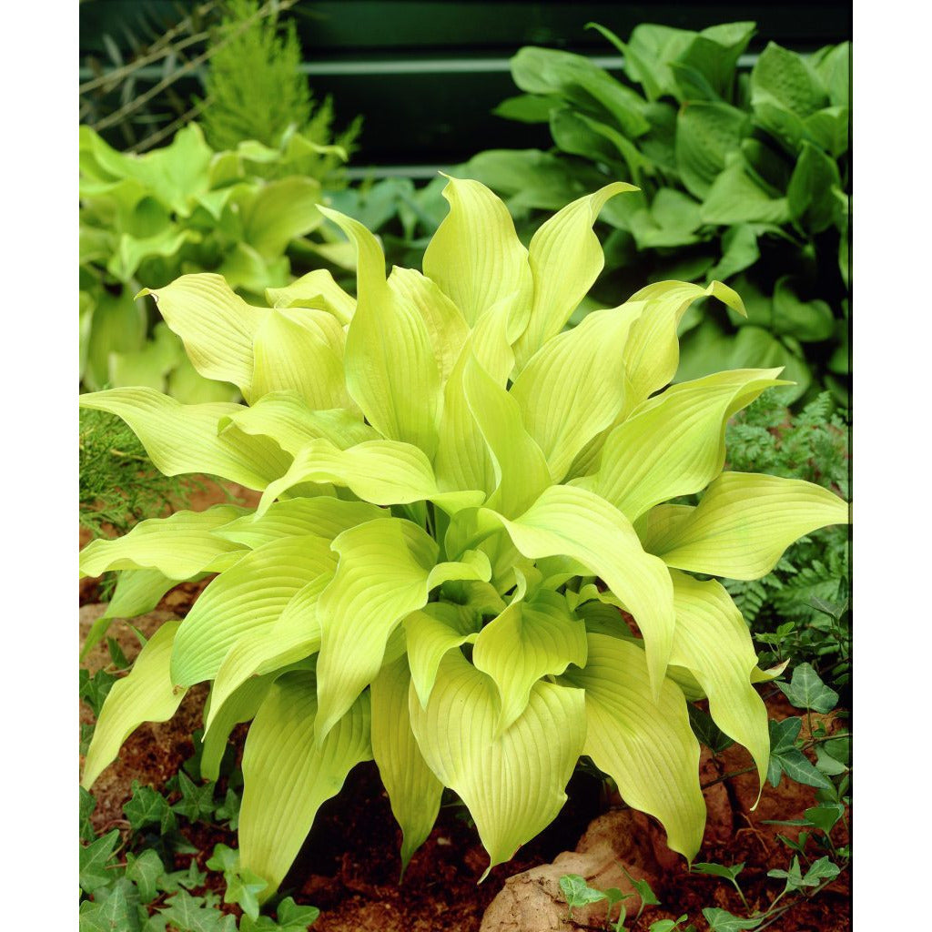 Hosta hybrid Sun Power / Plantain Lily