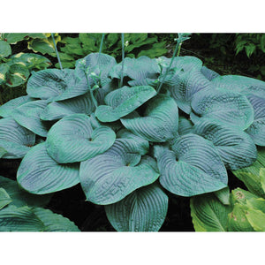 Hosta hybrid Humpback Whale / Plantain Lily