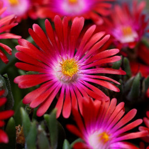 Delosperma - cooperi 'Jewel of the Desert Ruby' / Hardy Ice Plant