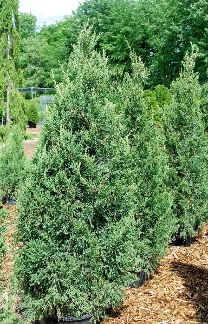 Juniperus chinensis 'Fairview' /  Fairview Juniper