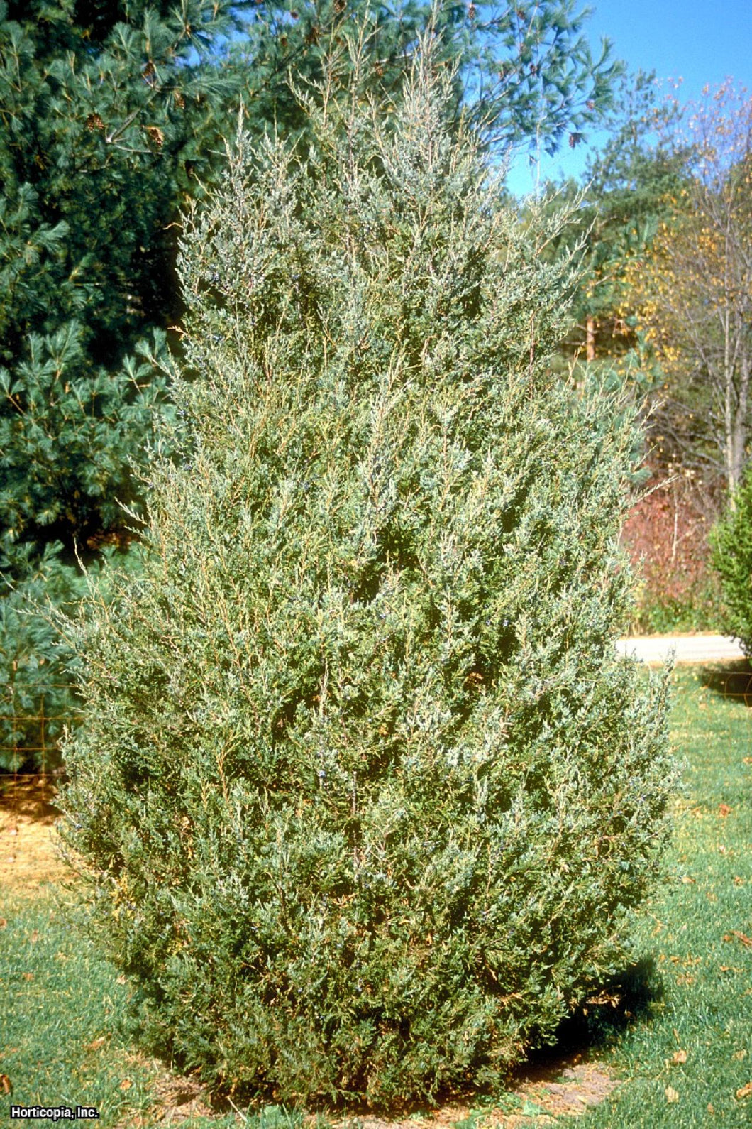 Juniperus virginiana / Eastern Red Cedar