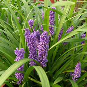 Liriope muscari Royal purple/ Lily Turf