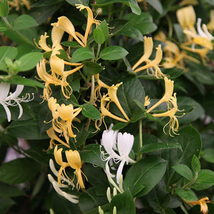 Lonicera japonica 'Halliana' / Hall's Honeysuckle