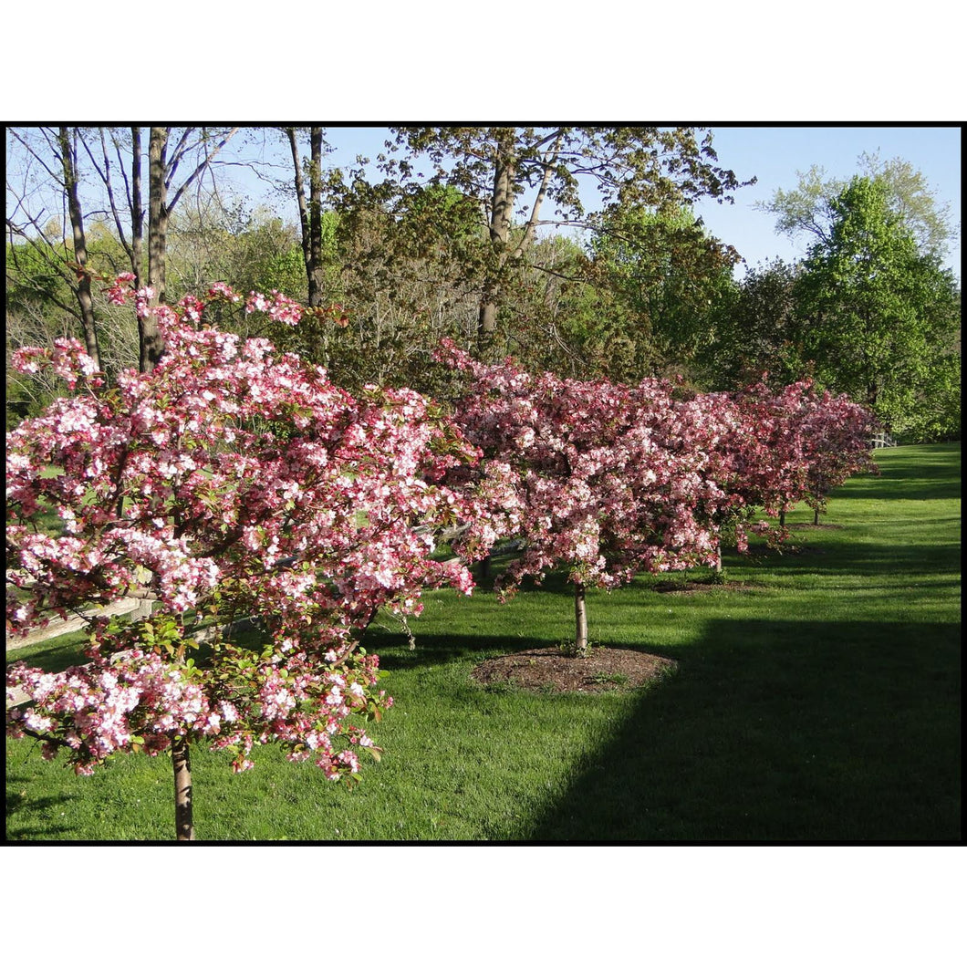 MALUS - Sargentii Tina (white) / Flowering Crabapple
