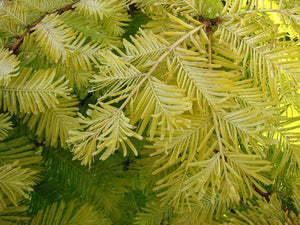 Metasequoia glyptostroboides 'Gold Rush' / Gold Rush Dawn Redwood