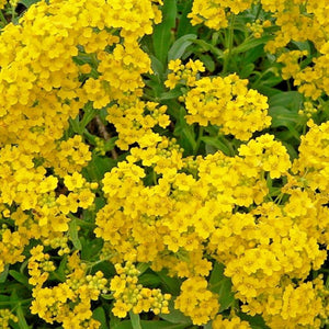 Alyssum - Montanum 'Mountain Gold' / Mountain Gold