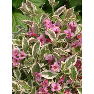 Weigela florida 'My Monet™' (Verweig) /  My Monet™ Weigela