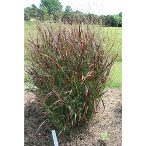 Panicum virgatum Prairie Fire / Switch Grass
