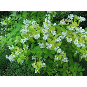 PHILADELPHUS - coronarius 'Aureus' / Dwarf Golden Mock Orange